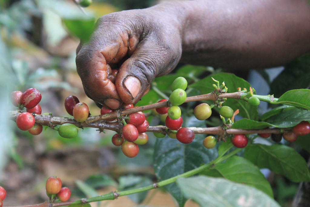 Picking of coffee beans