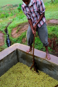 moving fermenting coffee in Ethiopia