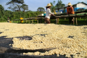 drying coffee beds in Ethiopia