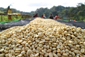 Washed and sundried coffee