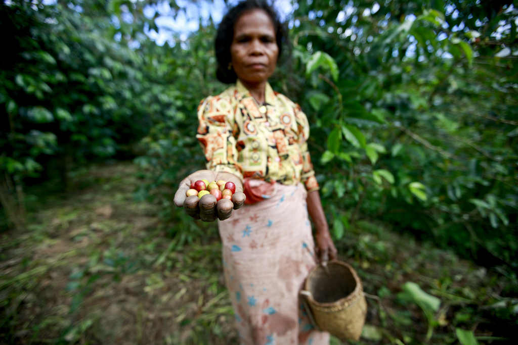 Female coffee worker holding coffee cherries